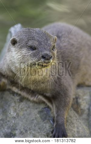 Asian or Oriental small clawed otter (Aonyx cinerea) close up