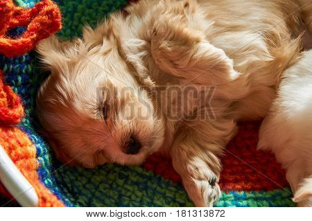 Macroshot from a cute five week old havanese puppy which is sleeping.