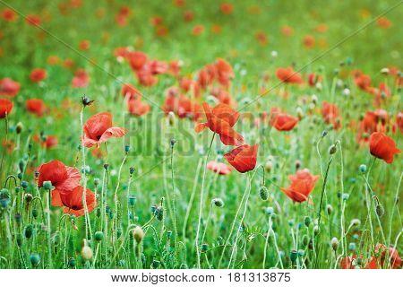 Field of Red Poppies in Varna Bulgaria
