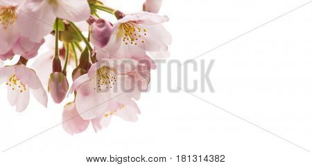 Cherry blossom isolated on white. Wide header dimension image.