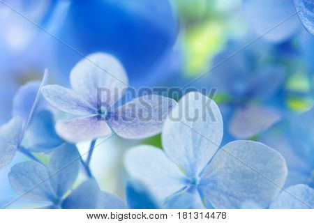 Light soft blue Hydrangea (Hydrangea macrophylla) or Hortensia flower with with light coming in through the leaves and flowers. Shallow depth of field for soft dreamy feel.