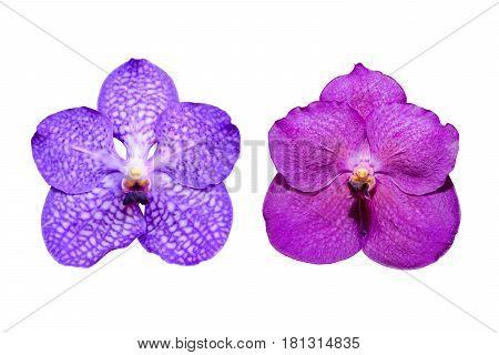 Isolated Puple Vanda Orchid.