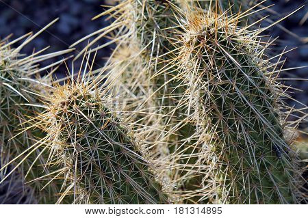 Sunlit Cactus With Long Sharp Spines in the Sonoran Desert