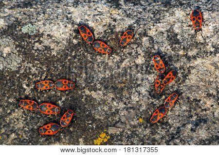 Bugs Pyrrhocoris apterus or firebugs on granite background. Insect family Pyrrhocoridae