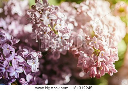 Extreme close-up of fresh Syringa lilac flower touched by sun flare