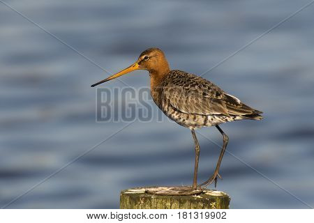 Black-tailed Godwit (Limosa limosa) standing on a Wooden Pole in a Lake