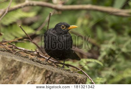 Blackbird Perched On A Tree Stump, Close Up