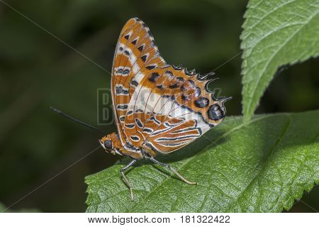 White-barred Emperor Butterfly Perched On A Leaf