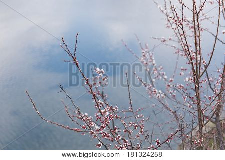 Branch of a flowering apricot. Spring time. Apricot tree flower seasonal floral nature background. Cloudy sky in the background
