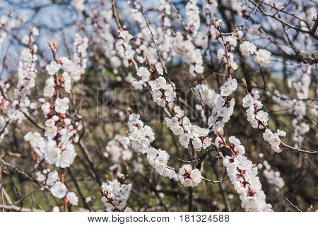 Branch of a flowering apricot. Spring time. Apricot tree flower seasonal floral nature background.