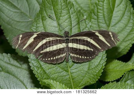 Zebra Longwing Perched On A Leaf, Close Up
