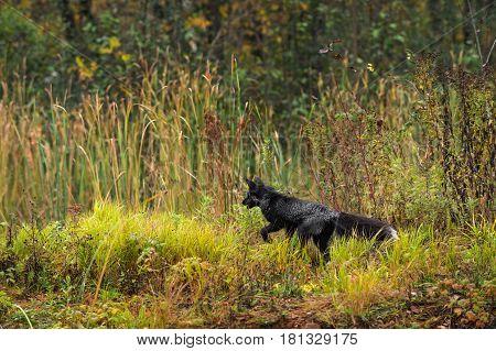 Silver Fox (Vulpes vulpes) Bounds Left - captive animal
