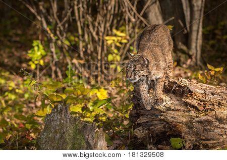 Bobcat (Lynx rufus) Preps to Jump - captive animal