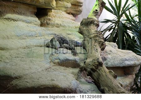 Cuban rock iguana (Cyclura nubila), also known as the Cuban ground iguana