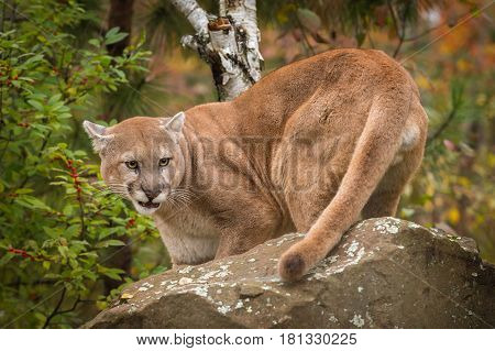 Adult Male Cougar (Puma concolor) Snarls Behind Rock - captive animal