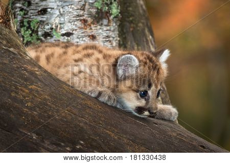 Female Cougar Kitten (Puma concolor) Curious in Tree - captive animal