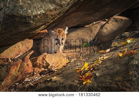 Female Cougar Kitten (Puma concolor) Creeps Out from Rock Crevice - captive animal