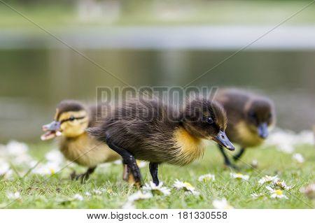 Cute Mallard ducklings (Anas platyrhynchos) feeding among daisies