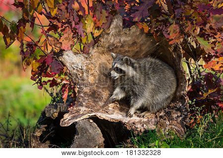 Raccoon (Procyon lotor) Sits Up in Log - captive animal
