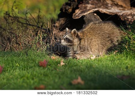 Raccoon (Procyon lotor) Stretches Out Into Grass - captive animal