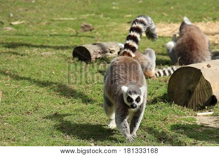 ring tailed lemur strolling towards the camera