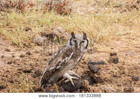 Verreaux's eagle-owl also known as the milky eagle owl or giant eagle owl (Bubo lacteus) - the largest African owl with its unique bright pink eyelids resting on a rhino dung pile early in the morning in Botswana