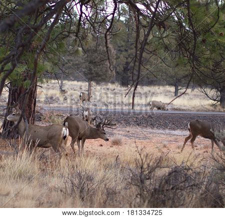 Several white tail deer with a nice sized buck and several does forage on both sides of a backroad in Central Oregon.