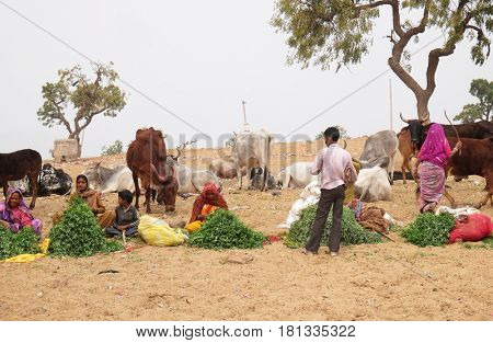 PUSHKAR, INDIA - FEBRUARY 18: Women selling grass stalks to Hindu passersby for them to feed to the cows which are revered by their religion  in Pushkar, India on February 18, 2016.