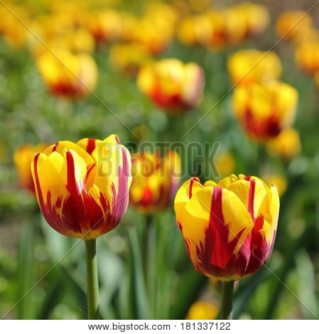 Bunch of Blooming Red and Yellow Two-Tone Tulip Flowers.
