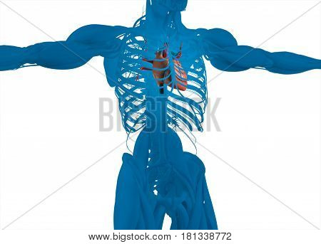 Heart and vascular system. Human anatomy. 3d illustration