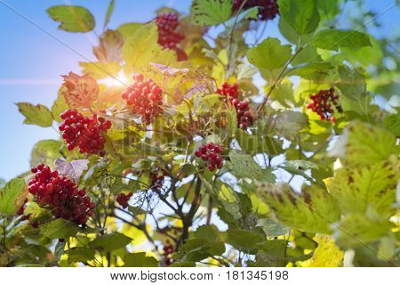 ripe guelder-rose .Landscape in a sunny day