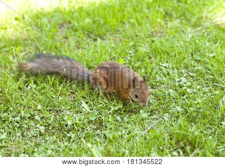 squirrel. Close up in a sunny day