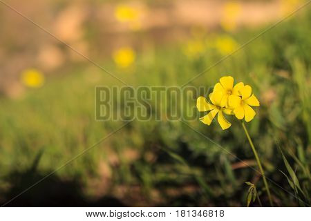 Close up yellow of wood sorrel in the sicilian countryside