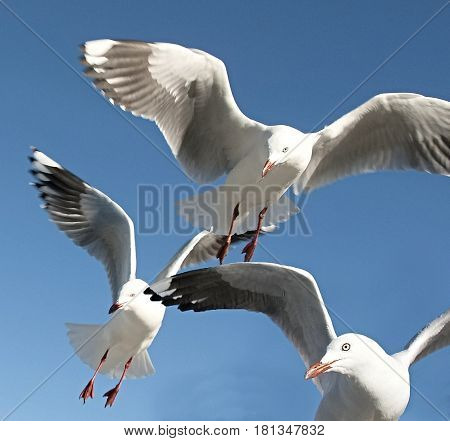 Three Flying Seagulls close up in a blue sky.