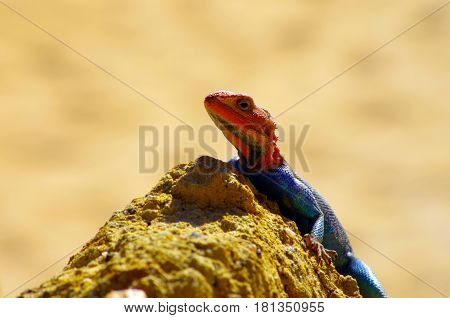 Agama Is Both The Genus Name Of A Group Of Small, Long-tailed, Insectivorous Old World Lizards As We