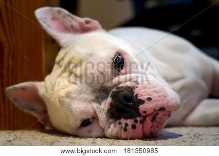 Bulldog With A Pathetic Sight Lying On The Floor And Looking At The Camera