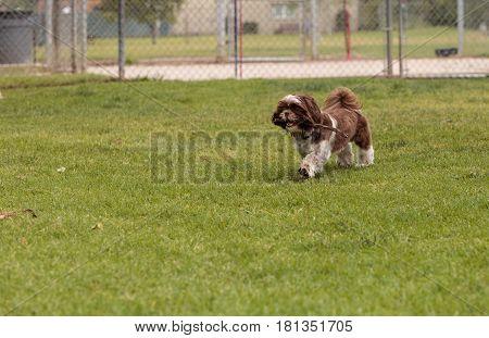 Lhasa Apso Dog Mix