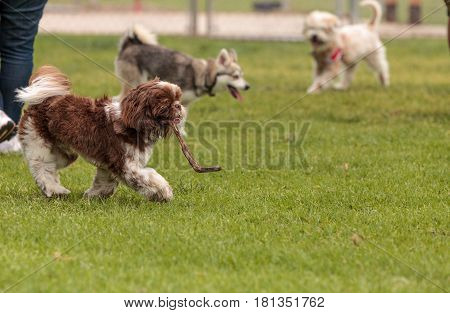 Lhasa Apso And A Siberian Husky Dog Mix Play