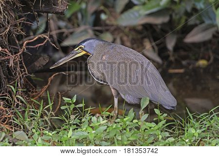 Bare-Throated Tiger Heron in the brush in Tortuguero National Park in Costa Rica