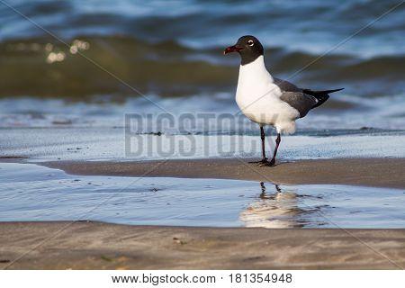 A laughing gull (Leucophaeus atricilla) on a beach at the shoreline.
