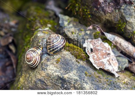 Vibrant spring macro scene of mossy garden rocks and two snails mating