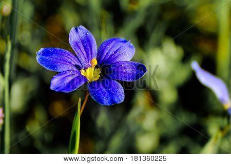 Texas wildflower - Blue-eyed grass (Sisyrinchium angustifolium) single flower with blurred green background. Selective focus