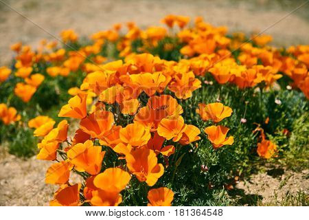 Fields of California Poppy during peak blooming time, Antelope Valley California Poppy Reserve.