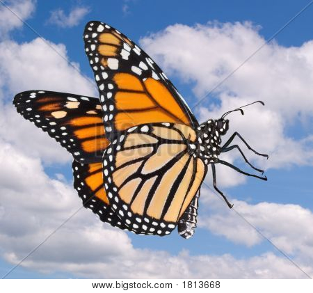 A female monarch is flying against a cloudy sky. poster
