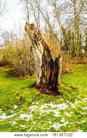 Tree stump of a tree that was knocked down by a lightning strike in Campbell Valley Park in the township on Langley in British Columbia, Canada on a nice winter day
