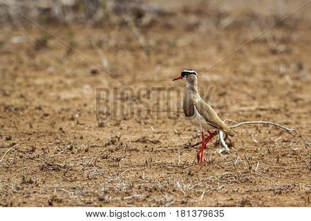 Crowned lapwing in Kruger national park, South Africa ; Specie Vanellus coronatus family of Charadriidae