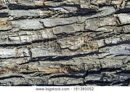 The surface of the tree bark of poplar for use as a background.