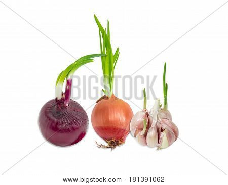 Sprouting bulb onion red onion and garlic with green sprouts closeup on a light background