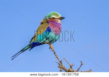 Lilac-breasted roller in Kruger national park, South Africa ; Specie Coracias caudatus family of Coraciidae