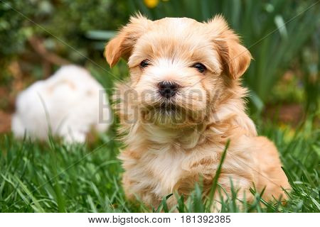 Havanese puppy sitting in grass looking into the camera - with another puppy in the background